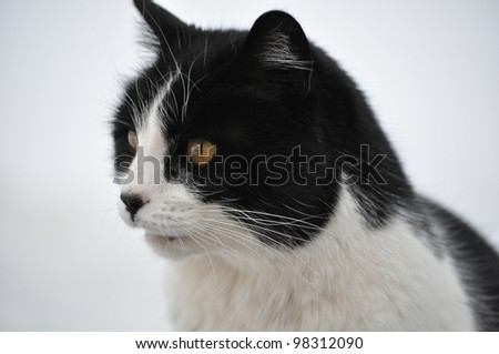 Black and White Cat closeup in Snow