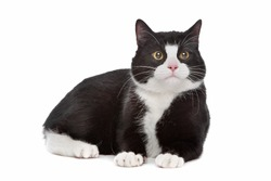 black and white cat in front of a white background