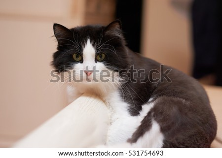 Black and white cat is posing for portrait on a bed back #531754693