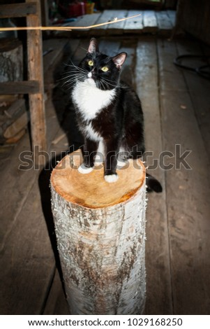 Black and white cat is sitting on birch wooden stump and looking at wooden twig in village yard. #1029168250