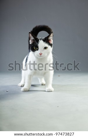 Black and white cat isolated on grey background