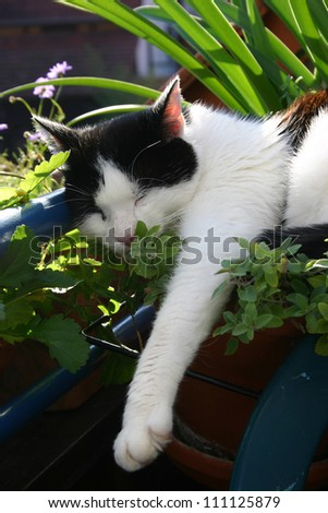 Black and white cat laying on a pot of catmint.