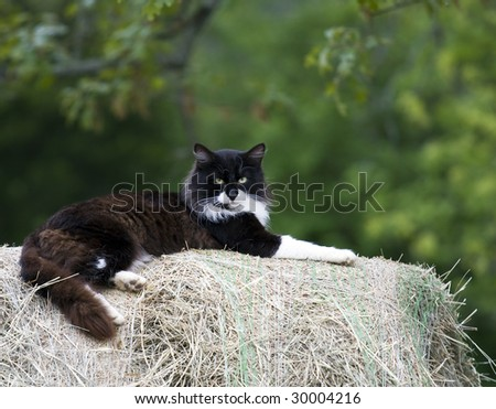 Black and White cat laying on bale of hay