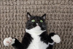 Black and White cat laying on his back on carpet
