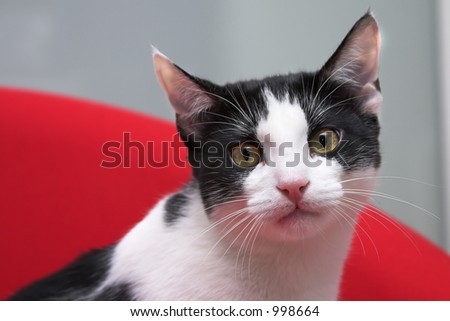 Black and white cat looking at the camera.