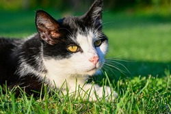 black and white cat lying in green grass