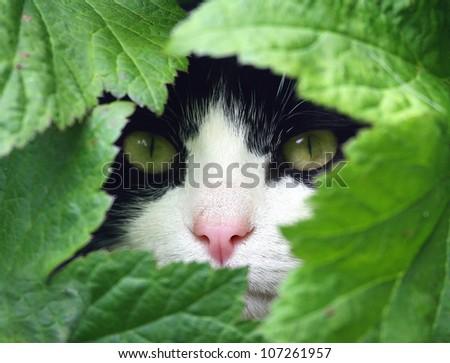 Black and White Cat peeking through the undergrowth.