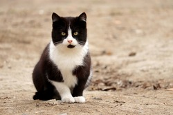 Black and white cat sits on the sandy ground and looks at the camera