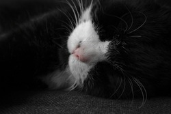 Black and white cat sleeping on couch, black white picture with coloured nose