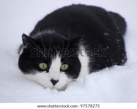 Black and White Cat sneaking in the snow
