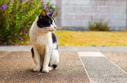 black and white cat that look like stray cat sat on the street by side lawn in the garden.