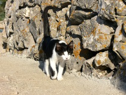 Black and white cat walking by the stone wall with tail up