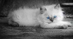 black and white cat with blue eye