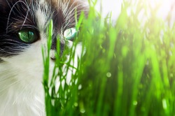 black and white cat with green eyes sitting and eating fresh green grass.  oncoming of spring