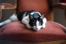Black and white cat with its head lying on a red old armchair with a noble attitude, a watchful and intrigued look towards the right side of the picture