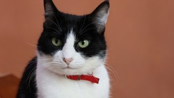 black and white cat with red collar