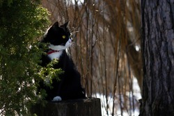 Black and white cat with yellow eyes and red collar sitting on a stub