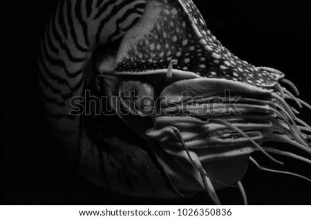 Black and white Chambered Nautilus with black background