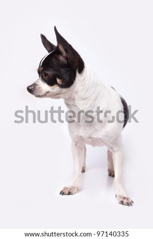 Black and white chihuahua - stock photo