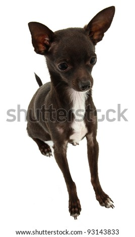 Black And White Chihuahua Stilling In White Studio Isolated