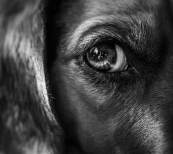 Black and white close up of a dog face