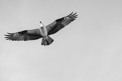 Black and white close up of a Mexican Falcon / Hawk flying in the sky, open wings