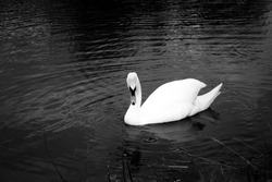 Black and white close up of swan on lake