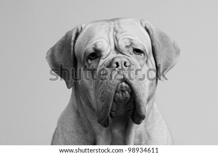 Black-and-white close up portrait of French Mastiff