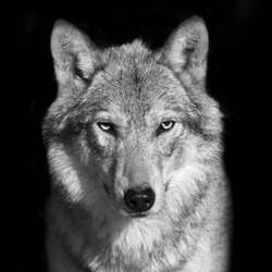 Black and white close up portrait of grey wolf female. Square image. Beautiful and dangerous beast of the forest.
