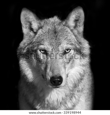 Black and white close up portrait of grey wolf female. Square image. Beautiful and dangerous beast of the forest. #339198944