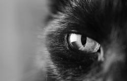 black and white closeup of cat's eye, eye of an black cat watching you