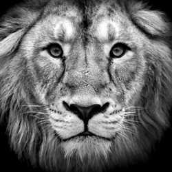 Black and white closeup portrait of an Asian lion. King of beasts. Wild beauty of the biggest cat. The most dangerous and mighty predator of the world