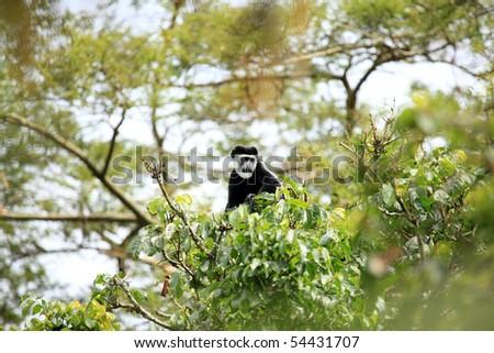 Black and White Colobus at the Bigodi Wetlands in Uganda - The Pearl of Africa