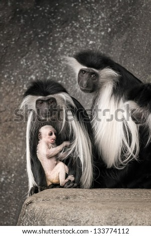Black and white colobus (Colobus guereza) mother and father with baby monkey