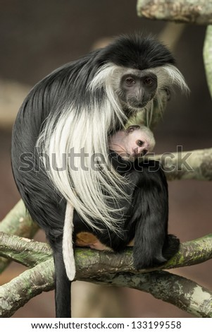 Black and white colobus (Colobus guereza) mother with baby monkey