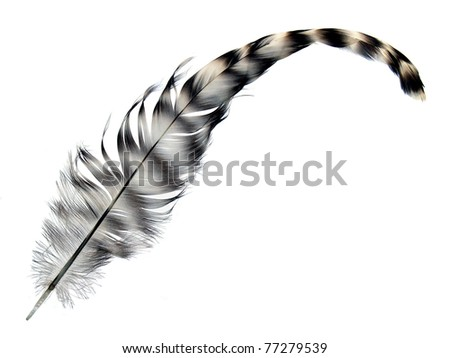 Black and white color Rooster feather isolated