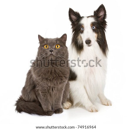 Black and white colored Shetland Sheepdog with bright blue eyes and a gray long hair cat with yellow eyes sitting next to each other