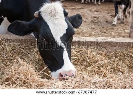 Black and white cow feeding.