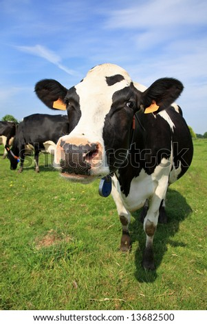 Black and white cow in a field