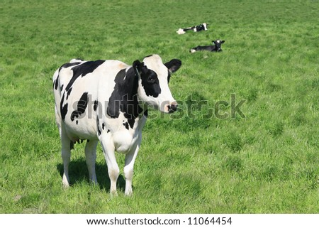 Black and white cow in a green meadow, close up, farming, agricultural theme