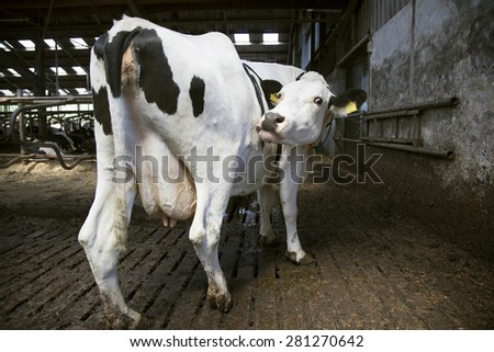 black and white cow in open stable licks itself