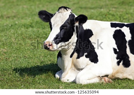 Black and white cow lying down on the grass