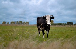 Black and white cow on a grassy field in the village.