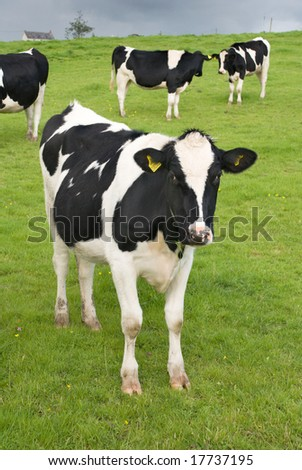 Black and white cow on pasture - stock photo