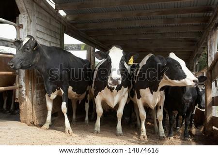 Cow Milk Farm Cows at The Dairy Farm