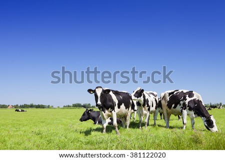 Black and white cows in a grassy field on a bright and sunny day in The Netherlands. #381122020