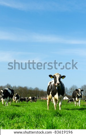 Black and white cows in Dutch meadows