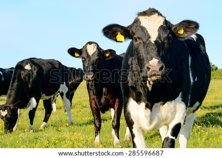 Black and white cows in grass field. Two cows look in to camera. One cow graze.