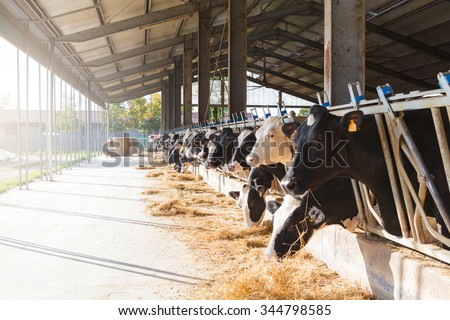 Black and white cows in large cowshed eating hay