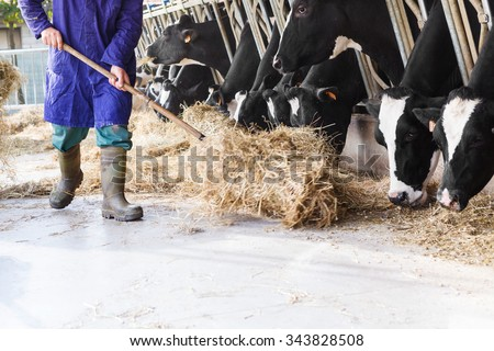 Black and white cows in large cowshed eating hay with farmer and hay bales